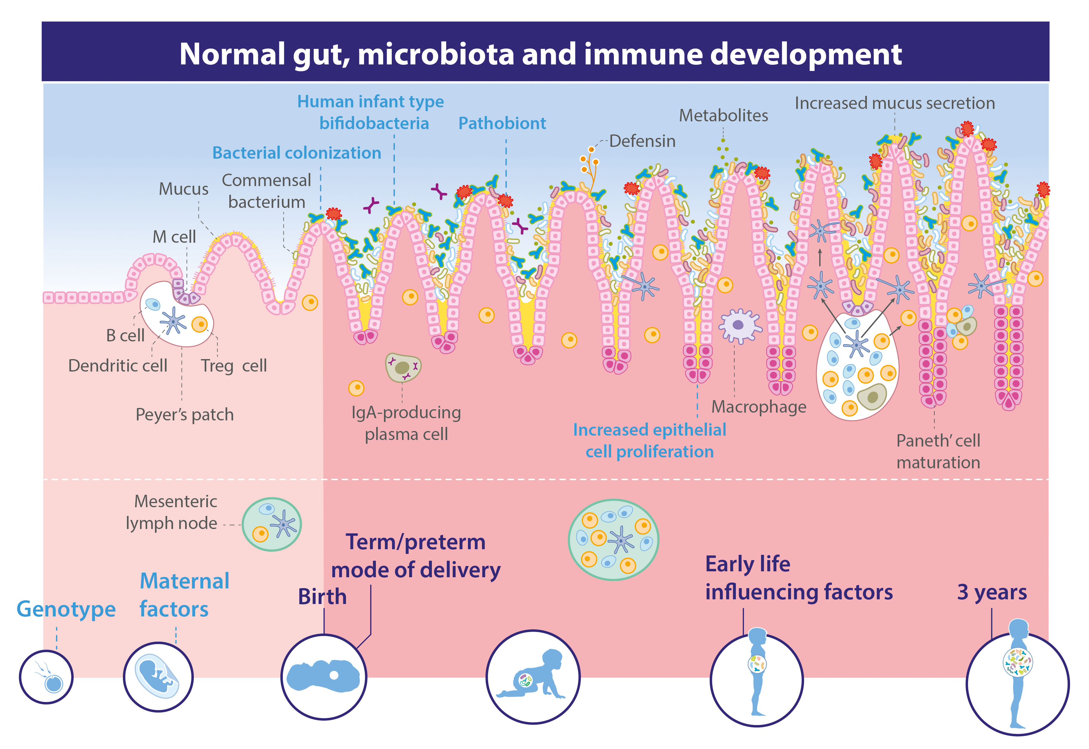 Immune System May Play Crucial Role In >> The Infant S Gut A Centre Of Immunity Danone Nutricia